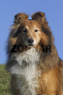 Shetland Sheepdog (Sheltie)