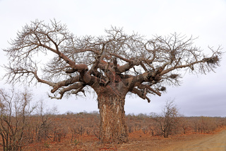 Affenbrotbaum, Kruger Nationalpark, Südafrika, monkey-bread tree, Kruger National Park, South Africa, Adansonia digitata