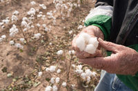 Man Holds Cotton Boll Farm Field Texas Agriculture Cash Crop