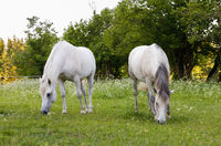 two white horse is grazing in a spring meadow