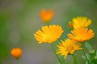 Calendula officinalis flowers