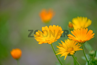 Calendula officinalis flowers