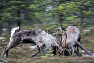 Rentier / Eurasisches Tundraren / kaempfende Hirsche / Rangifer tarandus