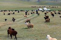 Jurtenlager und Schafherde am Songköl-See (Son Kul, Song Kol), Kirgisistan