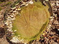 Jahresringe; Jahrring; Baumscheibe