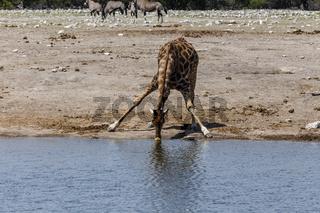 Giraffe, trinkend, drinking