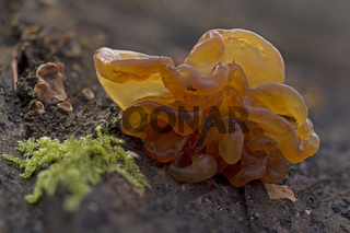 Kandisbrauner Druesling (Exidia saccharina)