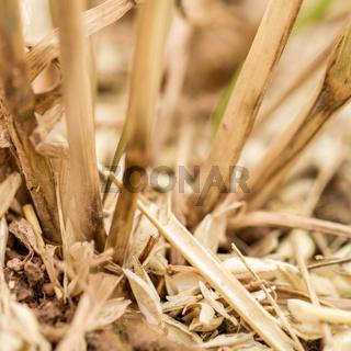 Getreidehalme Nahaufnahme
