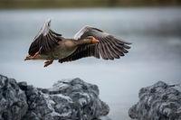 Fliegende Wildgans