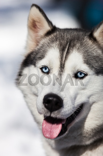Cute siberian husky dog walking outdoor