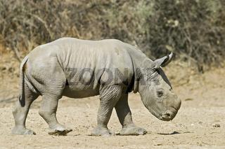 Breitmaulnashorn, Weisses Nashorn (Ceratotherium simum), 4 Tage altes Jungtier, Okapuka Ranch, Namibia, Afrika, White Rhinoceros cup, Africa