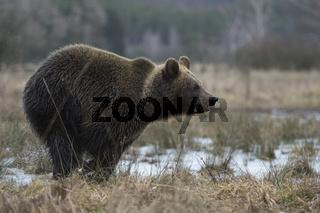 in Eile... Europäischer Braunbär *Ursus arctos* in schnellem Lauf durch ein Morr