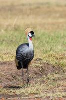 Grey Crowned Crane on the savanna