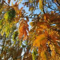 Herbstfärbung des Urweltmammutbaums
