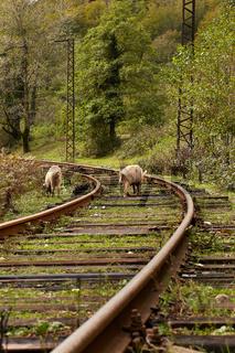 Schweine auf Bahngeleisen, Georgien