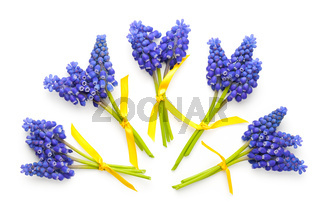 Muscari Flowers Isolated on White Background