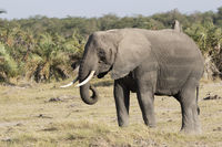 An elephant eating grass in the savanna next to a small forest
