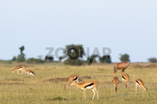 Flock with Thomson's gazelles on the African savannah landscape