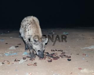 Feeding of spotted hyenas Harar, Ethiopia