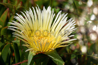 Miitagsblume im West Coast Nationalpark, Postberg Sektion, Südafrika, suurvy at West Coast National Park, Postberg sector, South Africa