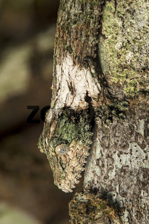 Blattschwanz-Gecko (Uroplatus sikorae)