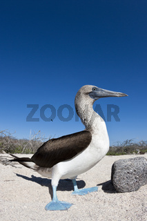 Blaufusstoelpel, Galapagos, Ecuador