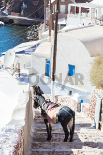 Donkey that works as tourist taxis on the island of Santorini, Cyclades, Greece.
