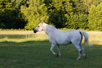 white horse running in spring pasture meadow