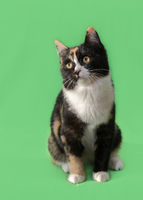 Beautiful three-colored cat on green background