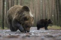 aus tiefer Perspektive... Europäische Braunbären *Ursus arctos*