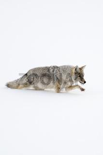 mühevoll... Kojote *Canis latrans*