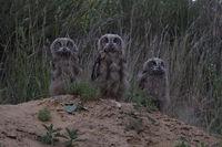 wie die Orgelpfeifen... Europäischer Uhu *Bubo bubo*, drei junge Uhus nebeneinander auf einem Hügel