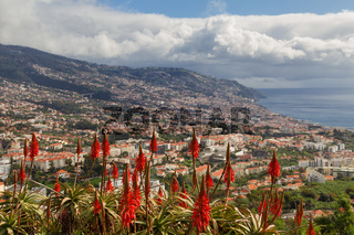 Red Aloe Vera in front of the city of Funchal