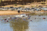 Hippos that are cooling off in the water