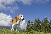 Beagle beim Bergwandern