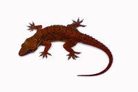 Leaf toed gecko, Hemidactylus parvimaculatus, Bhoramdeo Wildlife Sanctuary, Chhattisgarh