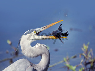 Great Blue Heron with a fish