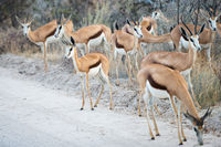 Group of Springbok antelopes is cautiously crossing a dirt road