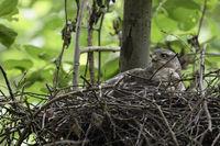auf dem Nest... Sperber *Accipiter nisus*