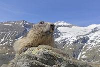 Murmeltier (Marmota marmota), Nationalpark Hohe Tauern, Kärnten, Österreich, Europa