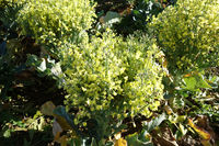 Brassica oleracea var. italica, Brokkoli, broccoli, bluehend, flowering