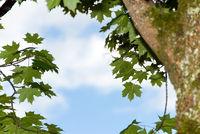 ahornbaum baum