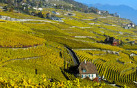 Herbstfärbung in den Weinbergen des Lavaux, Rivaz, Lavaux, Waadt, Schweiz