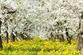 Blühende Apfelbäume in einer Obstbaum-Plantage im Frühling