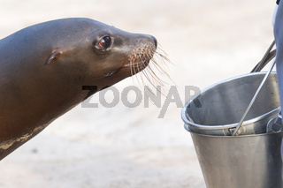 Sea lion begging for a fish