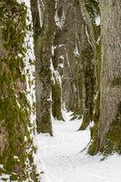 Alte Baumallee im Winter mit Schnee und Eis