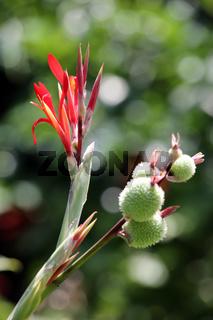 Indisches Blumenrohr (Canna indica)