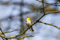 Singing Wood Warbler in a tree in the woodland at spring