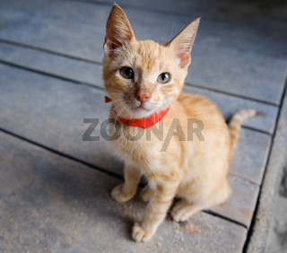 young red cat on wooden background looking up - orange kitty