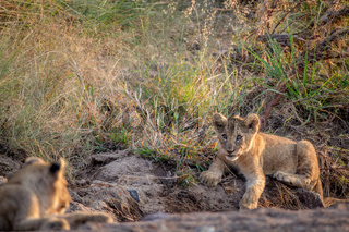 Lion cub laying in a dry riverbed.